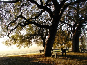 Summerhill morning with Texas Live Oaks