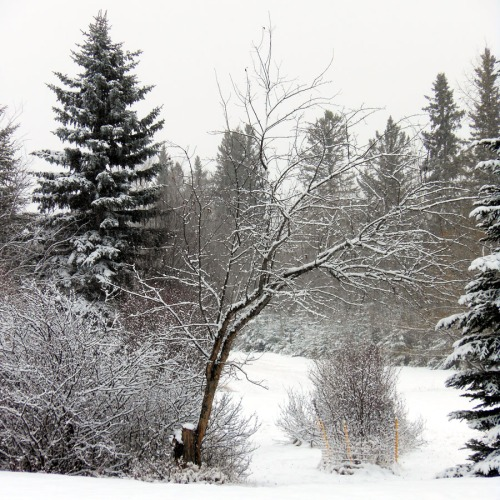 fruit tree outlined in snow
