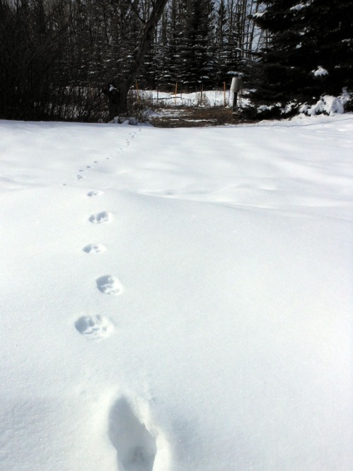 fox foot prints in the snow
