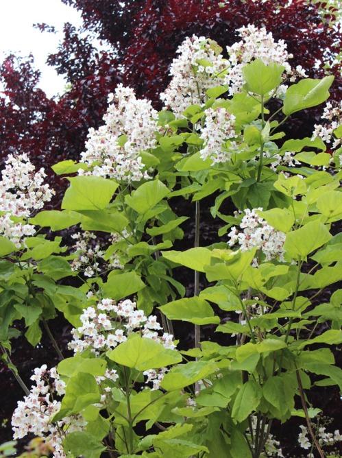 Early Catalpa blossoms in Petaluma