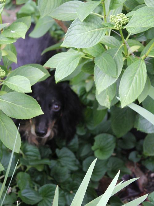 Wiener dog, Milo, wanders around under the bushes