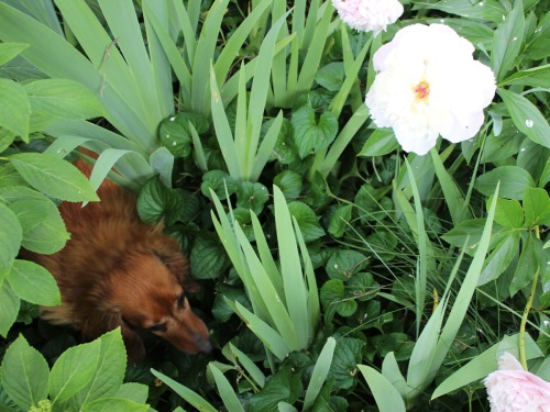 Mighty hunting wiener dog, Rufus, hunts snails for a snack