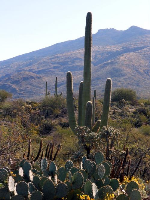 Saguaros with mountain backdrop