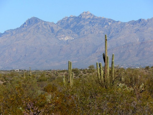 Saguaro with Tucson in the background