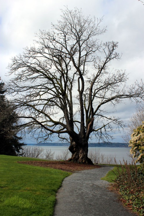 Old Broad Leaf Maple over looking Puget Sound