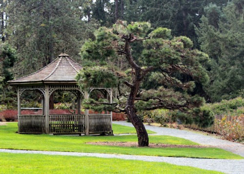 Black Pine and Gazebo at Puget Sound Rug School