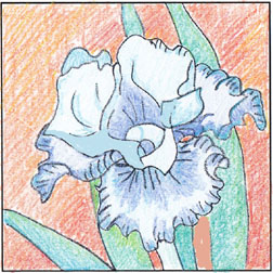 'Louise's Iris' shaded with coloured pencils, by Laura Pierce